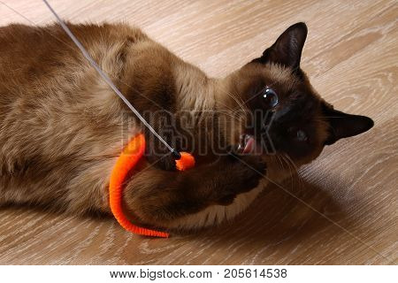 Siamese Or Thai Cat Plays With A Toy. A Disabled Cat Bites And Scratches A Toy. Three Paws, No Limb.