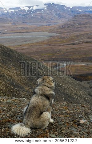 Giant polar dog looking at beautiful arctic landscape in Svalbard Norway. Adventdalen (Advent valley) and Adventelva (Advent river)