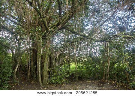 banyan tree with many branches in hana maui hawaii