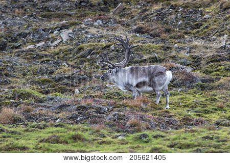 Svalbard reindeer (Rangifer tarandus platyrhynchus) in its natural habitat in Svalbard tundra. Smallest subspecies of reindeer endemic to Svalbard.