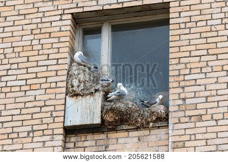 Detail of sea gulls nesting on window sills in the abandoned Russian settlement Pyramiden in Svalbard