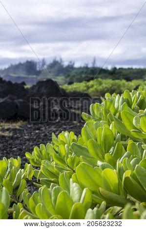 green foliage on black lava rock in background in maui hawaii