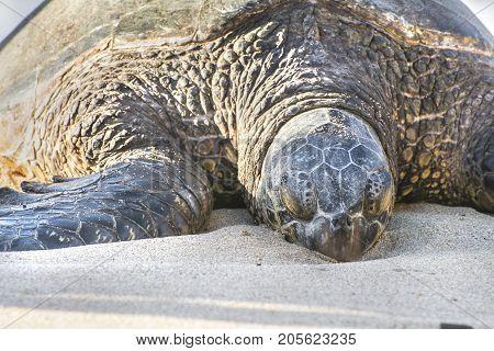 turtle sleep on the beach in maui hawaii
