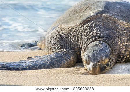 sea turtle sleeps on sunny beach in maui hawaii