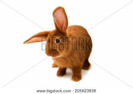 Red rabbit animal isolated on white background