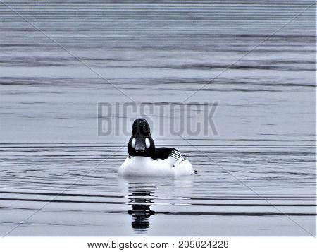 Pintail duck resting on lake, Wolvercote, Oxford
