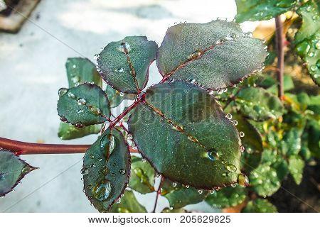 Rose Leaf with Raindrops Encircling Each Leaflet