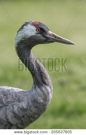three quarter length close up profile portrait of a common crane with a tree background and in upright vertical format