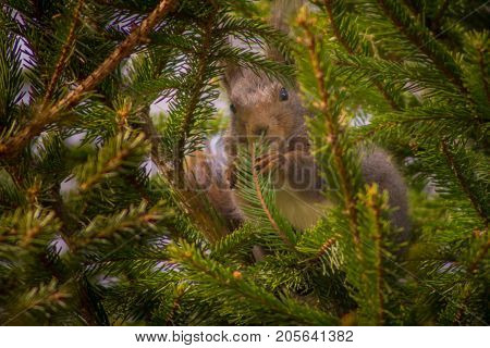 Hiding squirrel. Grey squirrel hiding in a spruce tree