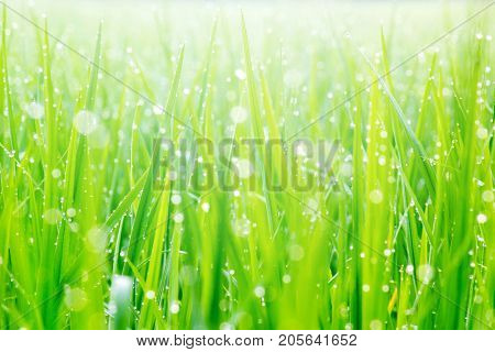 Beautiful Water Droplets On The Green Grass Shine In The Sunlight And Bokeh Close-up Macro Abstract Summer Nature Background With Drops Of Dew.
