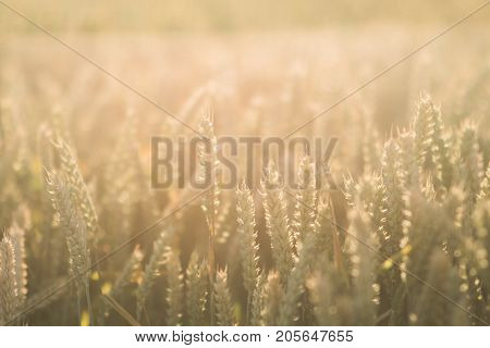 Wheat field. Ears of golden wheat close up. Beautiful Nature Sunset Landscape. Rural Scenery under Shining Sunlight. Background of ripening ears of meadow wheat field. Rich harvest