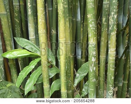 GAINESVILLE, FLORIDA-JUNE 26, 2017: This stand of Wong Chuk, or Royal Bamboo, a giant clumping variety at Kanapaha Gardens has been carved with graffiti in the form of names, initials, and drawings.names and drawings.