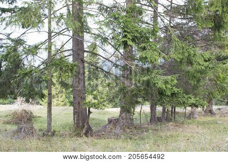 row of spruce forest on rolling hills. Mountain landscape in autumn weather. high spruce alternate with stumps.