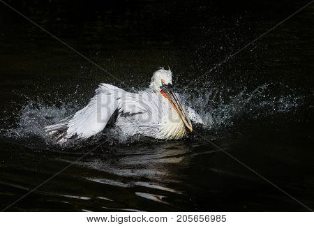 beautiful waterfowl curly white Pelican floating on the dark lake and splashes drops