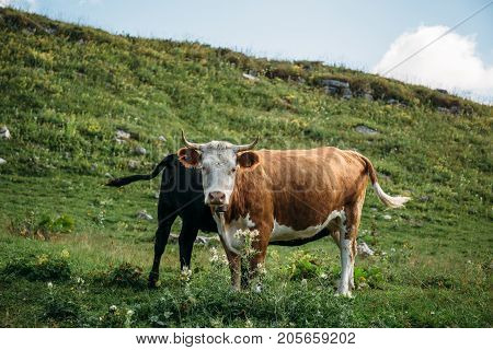 Brown cow with calf on mountain green meadow, cow looks at camera. Cattle on a mountain pasture. Cow in pasture, toned