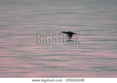 Aesthetic nature background of aquatic sea bird at sunrise. Blurred image of bird flying over the surface of water. Migrating wildlife.