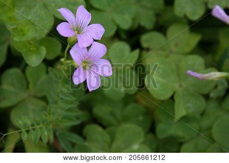 Amazing little light purple flower growing wild in field