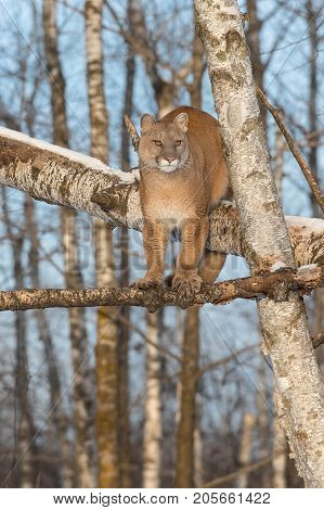 Adult Female Cougar (Puma concolor) Looks Right From Tree - captive animal