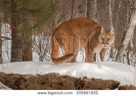 Adult Female Cougar (Puma concolor) Turns Paw Up - captive animal