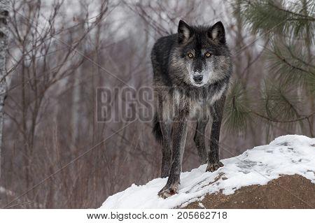 Black Phase Grey Wolf (Canis lupus) Paw Forward On Rock - captive animal