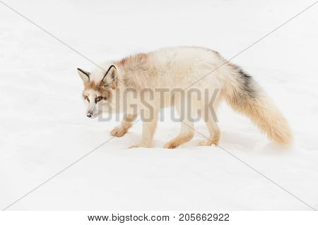 Red Marble Fox (Vulpes vulpes) Stands and Stares - captive animal