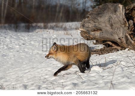 Amber Phase Red Fox (Vulpes vulpes) Turns Left - captive animal
