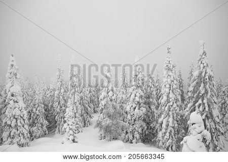 Snowy Trees In The Forest. Everything Is Covered With Snow. Christmas Snowy Morning In The Woods. Ch