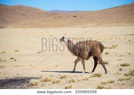 One Single Llama On The Andean Highland In Bolivia. Adult Animal Galloping In Desert Land. Side View