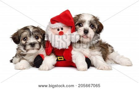 Two cute Bichon Havanese puppies lying with a little Santa Claus plush toy - Isolated on white background