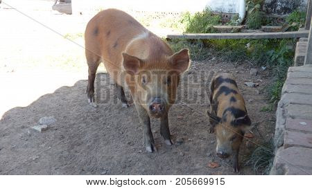 Pork in Estancia. Bolivia, Part of south America