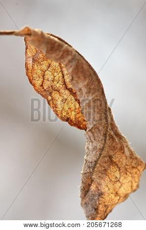 Close up of yellow autumn dried tree leaf in sunlight. Sear brown foliage hold to light