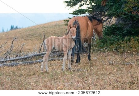 Baby Foal Colt Wild Horse Mustang with his mother in the Pryor Mountains Wild Horse Range on the border of Wyoming and Montana United States