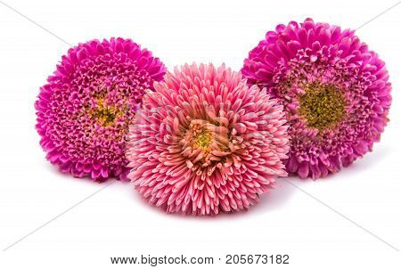Pink Flower aster isolated on white background