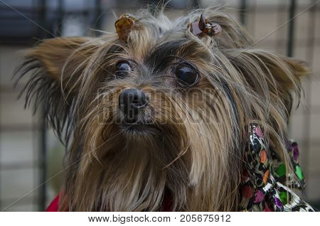 A dog with long hair, Shih Tzu dog face