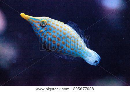 Orange Spotted Filefish Oxymonacanthus Longirostris