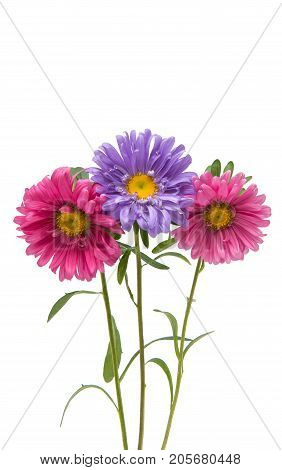 Aster Colorful flower isolated on white background