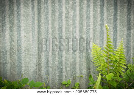 creeping plant on steel or zinc wall background texture