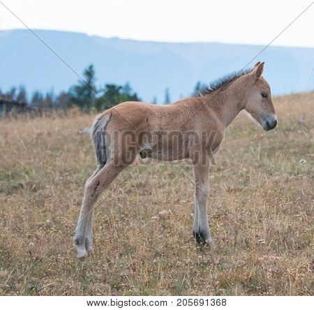 Wild Horses - Baby Foal Colt On Sykes Ridge In The Pryor Mountains Wild Horse Range On The Border Of