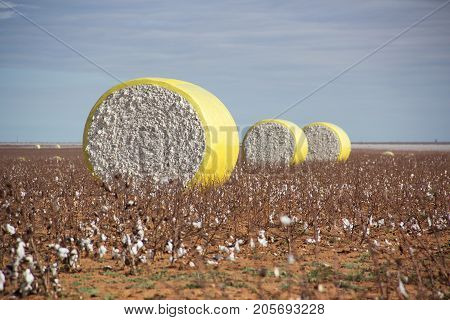 Round Bales of White Cotton in West Texas Field at Harvest