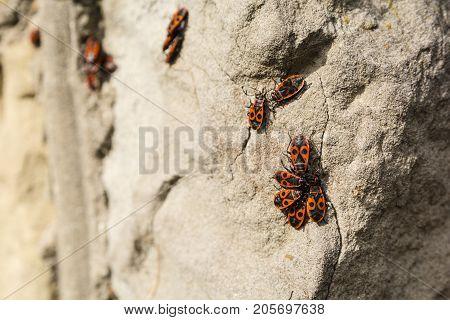 Firebug (pyrrhocoris Apterus).