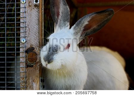White rabbits with black ears and a black nose. Purebred rabbits grown in a home farm. A rabbit Peeps out of the cage.