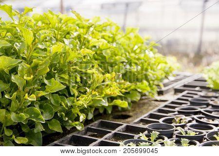 Organic hydroponic Watercress (Nasturtium officinale) cultivation farm.