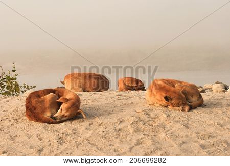 Four Orange Dogs Laying Down On The Sand. Yellow Dog Is The Chinese Zodiac Symbol Of The New Year 20