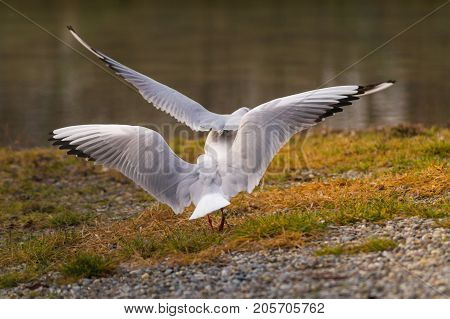 Close-up of two flying Seagull at the Lake.   View on flying Seabirds with outspread Wings in front of a Lake. Rear view of two beautiful Gulls at the Lake. Nature and Wildlife Background