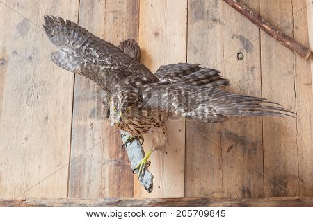 Taxidermy - Old Remains Of A Common Buzzard