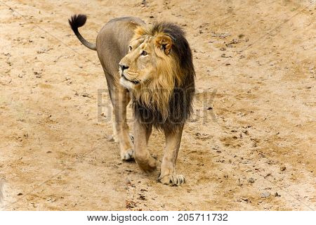 Walking lion in sand - king lion