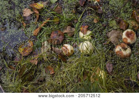 Apples autumn leaves drowned in a swamp overhead filtered photo