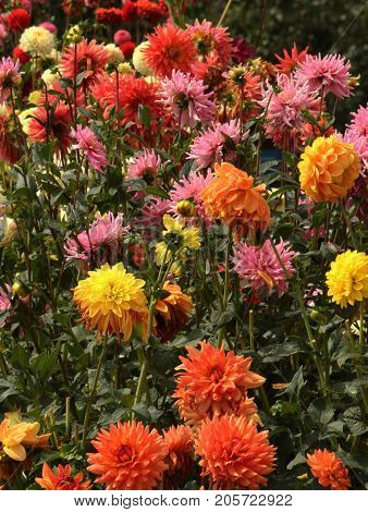 Aster flower/ These are yellow, orange,red and pink Aster flowers.