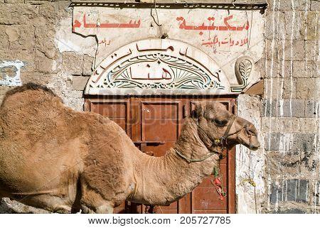 Sana,Yemen - 5 January 2007: Dromedary in front of a door of a house at old Sana on Yemen