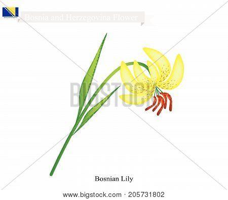 Bosnian Flower, Illustration of  Bosnian Lily Flower. The National Flower in Bosnia and Herzegovina.